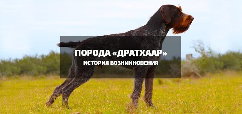 """порода собак """"дратхаар"""""""
