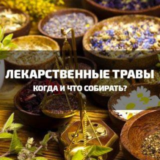 Когда собирать лекарственные травы?