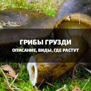 Грибы грузди - подробное описание, виды, где растут